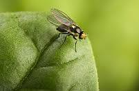 Leafminer_Fly