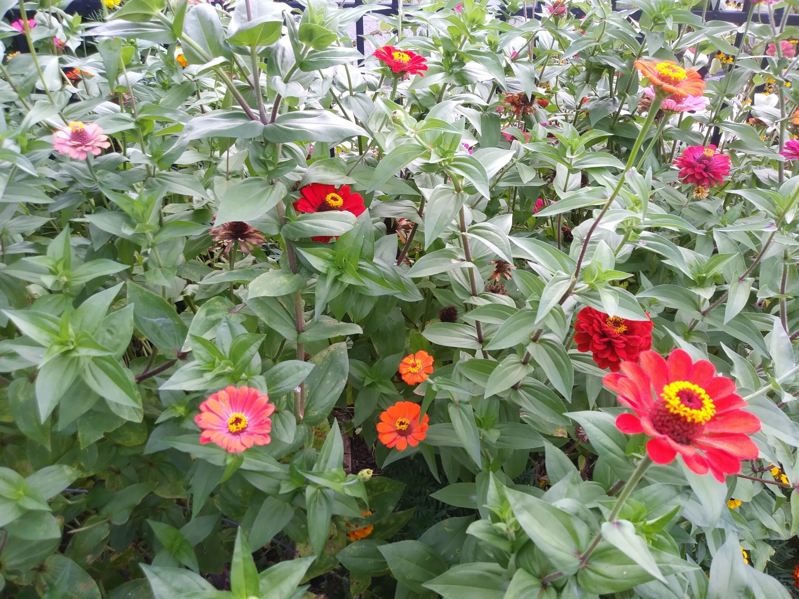 Red, pink, and orange zinnias bloom