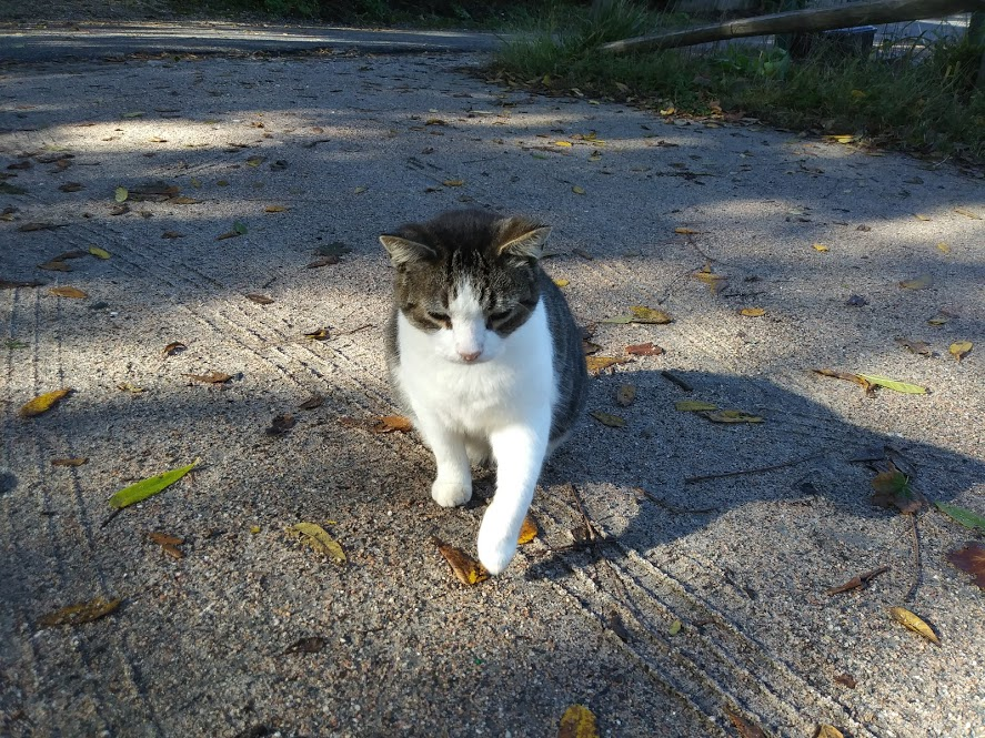 Cat that is half tabby half white sits in the gravel driveway.