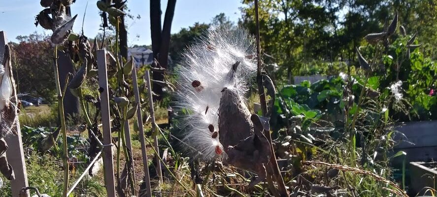 Dried milkweed pod releasing fluffy white seeds