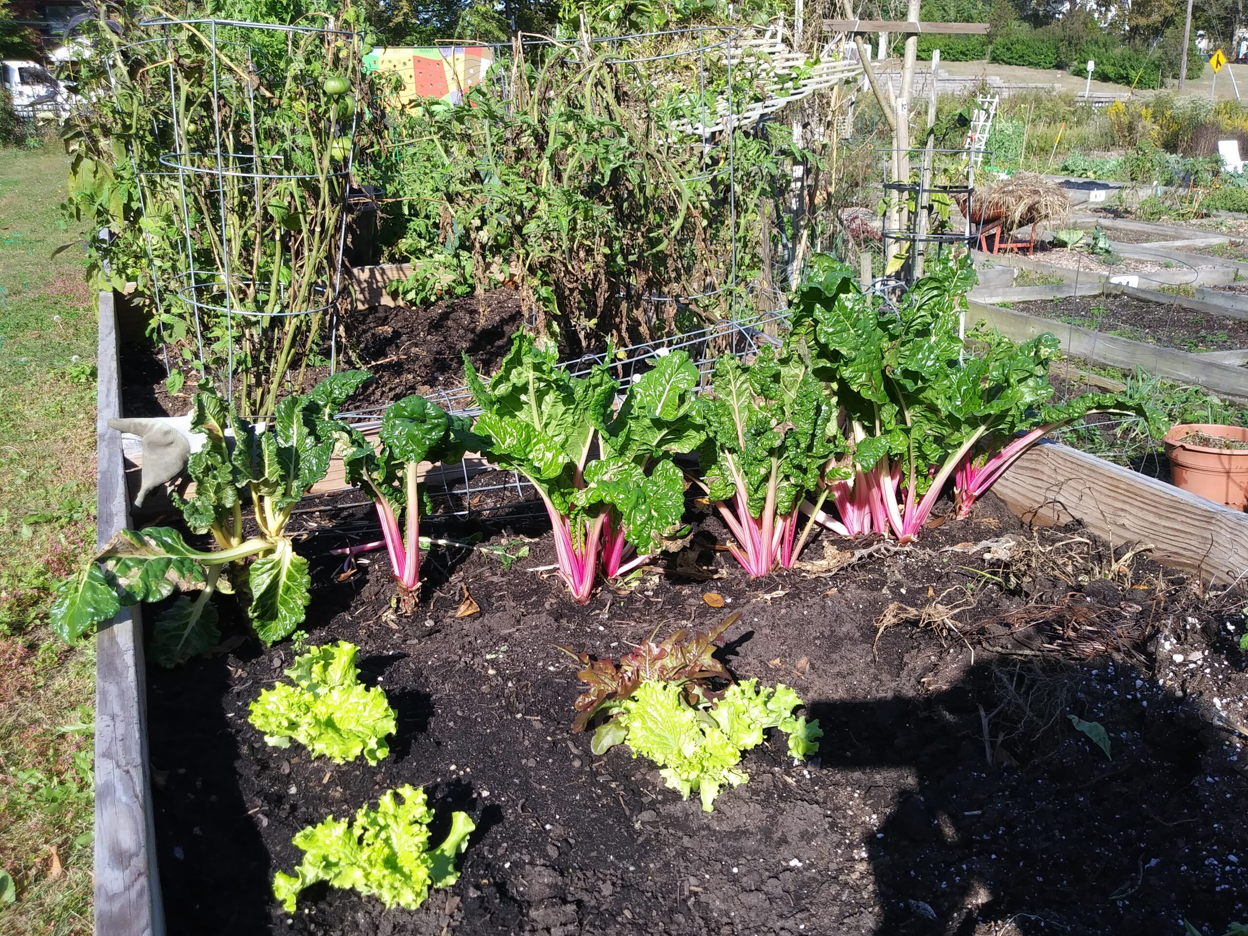 Swiss chard with pink stems and green lettuce growing